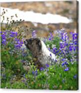Marmot In The Wildflowers Canvas Print