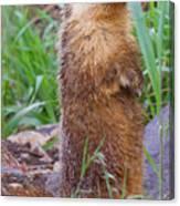 Marmot Love Canvas Print