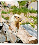 Marmot On Mount Massive Colorado Canvas Print