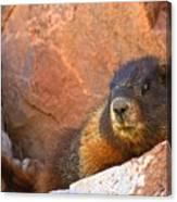 Marmot On The Rocks Canvas Print