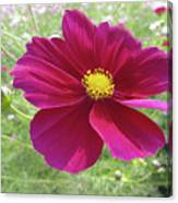 Maroon And Yellow Cosmos Canvas Print