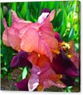 Maroon Iris Flower Canvas Print