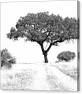 Marula Tree Canvas Print