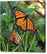 Marvelous Monarchs Canvas Print