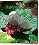 Marvelous Moth Canvas Print