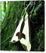 Maryland Clymene Moth Canvas Print