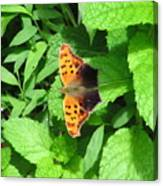 Maryland Eastern Comma Canvas Print