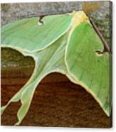 Maryland Luna Moth Canvas Print
