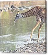 Masai Giraffe Drinking Canvas Print