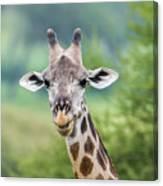 Masai Giraffe Portrait Canvas Print