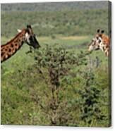 Masai Mara Giraffe Canvas Print