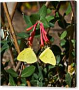 Matched Pair Of Sulfur Butterflies Canvas Print