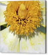 Matilija Poppy 2- Macro Canvas Print
