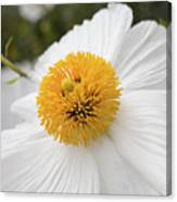 Matillija Poppy Canvas Print