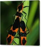 Mating Milkweed Bugs Canvas Print