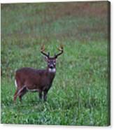 Mature Whitetail Buck Canvas Print