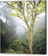 Maui Moss Tree Canvas Print