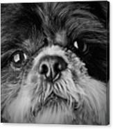 Max - A Shih Tzu Portrait Canvas Print