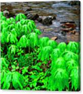 Mayapples And Middle Fork Of Williams River Canvas Print