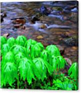 Mayapples And Middle Fork  Canvas Print
