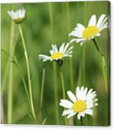 Meadow Detail White Wild Flowers Canvas Print