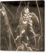 Meadow Grass In Sepia Canvas Print