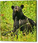 Meadow Itch Bear Canvas Print