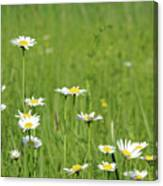 Meadow With White Wild Flowers Spring Scene Canvas Print