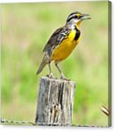 Meadowlark 7 Canvas Print