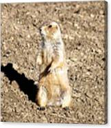 Mean Old Prairie Dog Canvas Print