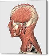 Medical Illustration Showing Human Head Canvas Print