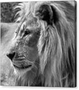 Meditative Lion In Black And White Canvas Print