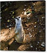 Meerkat     Say What Canvas Print