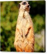 Meerkat 2 Canvas Print