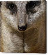 Meerkat Looking At You Canvas Print