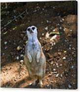 Meerkat Poising Canvas Print
