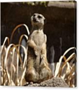 Meerkat Poser Canvas Print