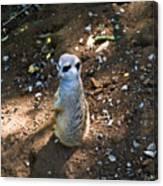 Meerkat Responding Canvas Print