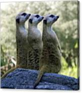 Meerkats On The Lookout Canvas Print