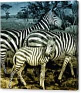 Meet The Zebras Canvas Print