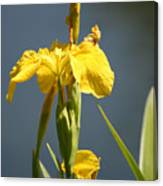 Mello Yellow - Floral Yellow Iris 3 Canvas Print
