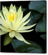 Mellow Yellow Water Lily Canvas Print