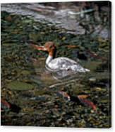 Merganser And Spawning Salmon - Odell Lake Oregon Canvas Print