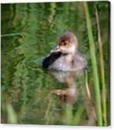 Merganser Duckling Canvas Print