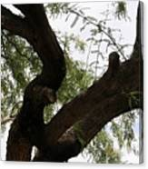 Mesquite Tree Canvas Print