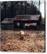Messy Pig Farm Lot Canvas Print