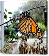 Metamorphosis Of The Monarch Canvas Print