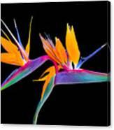 Mexican Bird Of Paradise Canvas Print