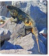 Mexican Iguana Canvas Print