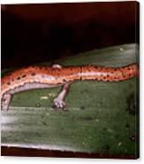 Mexican Palm Salamander Canvas Print